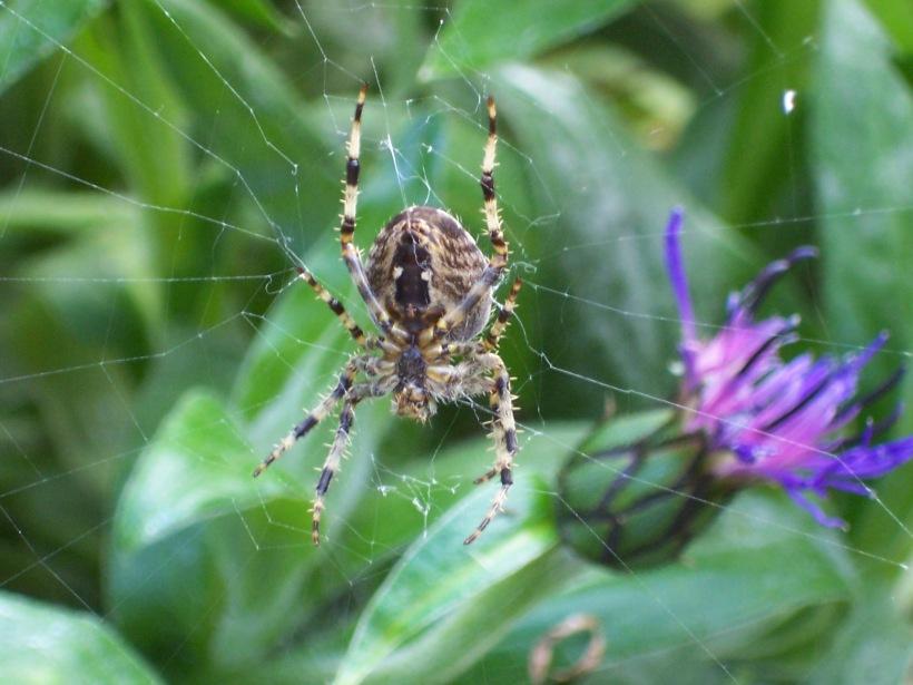 garden-spider_4059402448_o