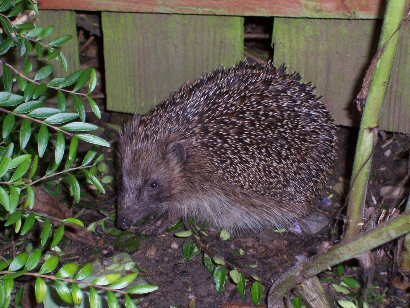 hedgehog-11_24500116146_o