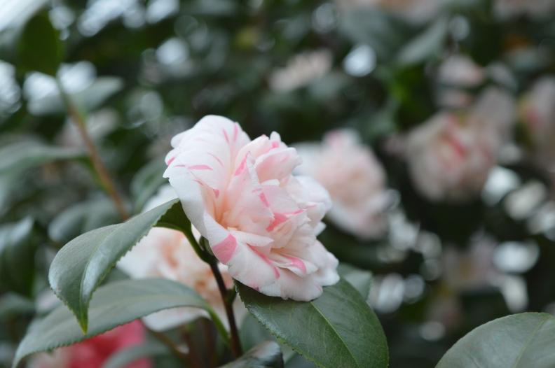 camellia pompone